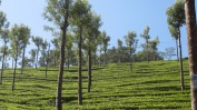 Munnar tea
