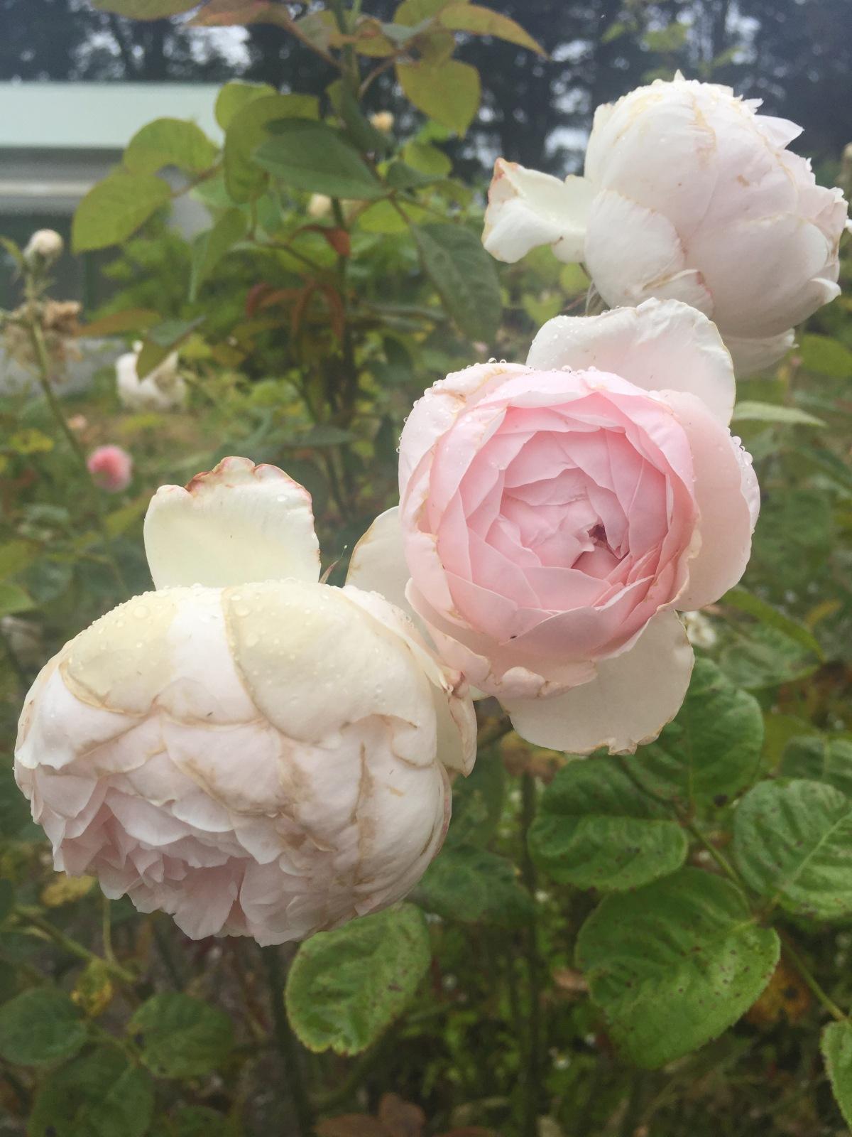 Peninsula Rose